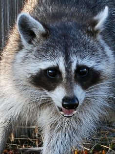 You will see raccoon's all in the Smoky Mountains. #Smoky #Mountains #National #Park #Smokies #Tennessee #vacation #wildlife #Cades #Cove