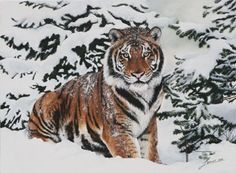 angery snow tiger pictures