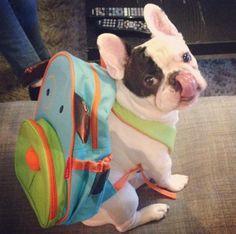 Manny the French bulldog Facebook