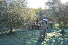 Vintage Report 2013 – A Herculean Harvest!   Cortes de Cima