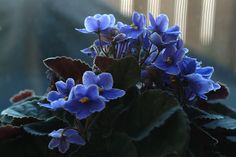 Blue African violets by Sally Van Natta, via Flickr - Love these.