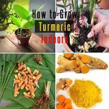 How To Grow Turmeric Indoors : Care Uses And Benefits Turmeric Seeds, Grow Turmeric, Turmeric Plant, Turmeric Root, Organic Soil, Organic Fertilizer, Organic Gardening, Indoor Gardening, Veg Garden