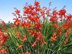 This is a Crocosmia that it is easy to babble on about with its big rich red flowers that flare widely open with petals thrown back in exultation displaying a small dark crimson ring around the petite yellow eye whose mesmerizing qualities transport you a Whiskey Barrel Planter, Crocosmia, Orange Flowers, Rare Plants, Deer Resistant Plants, Plants, Park Landscape, Perennials, Summer Plants