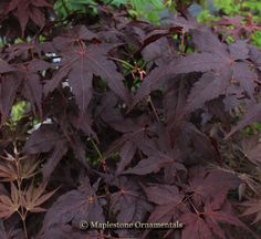 "Acer palmatum ""Ruby Ridge"""