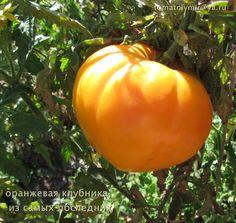 Томат Оранжевая клубника, выращен в Волгоградской области летом 2014. Высокорослый сорт, плотные мясистые плоды с малым количеством семян. Очень вкусный.