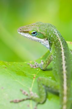 earthlynation:    green anole by nicolas dory