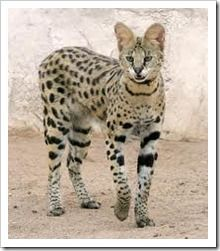 The Savannah is a hybrid domestic cat breed. It is a cross between the serval and a domestic cat. **I have 4 Savannah Cats! (Pictured is a Serval) Le Savannah, Beautiful Cats, Animals Beautiful, Savanna Cat, Animals And Pets, Cute Animals, Domestic Cat Breeds, Serval Cats, Exotic Cats