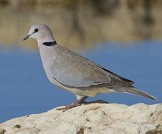 Ring-necked Dove - Wikipedia, the free encyclopedia
