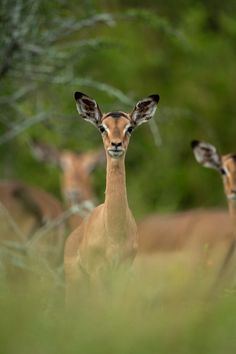 Singita has two lodges in the Kruger National Park, located near the Mozambique border on 33 000 hectares of pristine land. Learn more about Singita Kruger National park options here. Kruger National Park, Impala, Lodges, Conservation, Philosophy, Bliss, Wildlife, Africa, Community