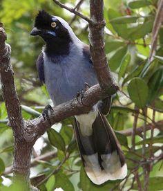 cancão-da-campina_cyanocorax hafferi_Brazilian Birds