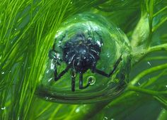 Did you know that the European Water Spider spins its own underwater scuba tank - called an air bell? The air bell works like a lung, trapping oxygen so the insect can live underwater. Some water spiders also use their air bells to protect their young.
