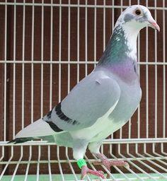 posta güvercini