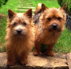 Terrier Dog Breeds - Image of two cute Norwich Terriers