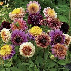 Dahlia Bulbs - Anemone Mix