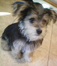 Oh my goodness I want one! A morkie!!