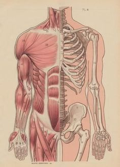 Muscular and skeletal system illustration- /madelinemcquay/ this is what the drawing I'm making with my brothers looks like... or at least it's how it's SUPPOSED to look like haha