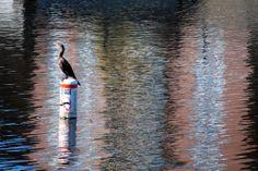 Sur le canal Lachine Bald Eagle, Animals, Animales, Animaux, Animal, Animais
