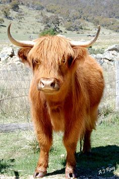 Highland cow.  always had a soft spot for these shaggy cattle