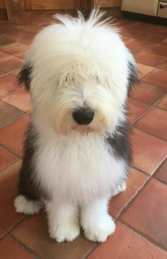 Old English Sheep Dog. Fluffy Dogs, Fluffy Animals, Animals And Pets, Cute Animals, Cute Dogs And Puppies, I Love Dogs, Pet Dogs, Doggies, Old English Sheepdog Puppy