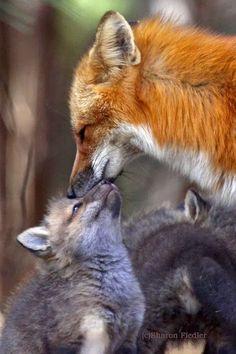 Fox mama and baby
