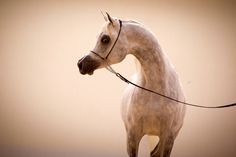 #ArabianHorses