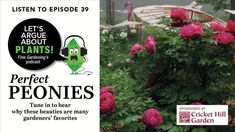 Podcast: Let's Argue About Plants Episode Perfect Peonies There's a ton of reasons why these beauties are many gardeners' favorites By Danielle Sherry Shade Shrubs, Shade Garden Plants, Orchid Plants, Foliage Plants, Pruning Hydrangeas, Philadelphia Flower Show, Flower Bed Designs, We Are The Champions, Small White Flowers