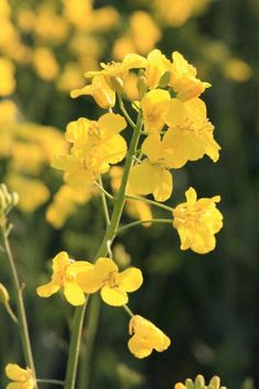 close up oilseed rape c ukagricultural lts If Rudyard Kipling, Seed Oil, Dyes, Nature, Flowers, Plants, Pictures, Gardening, Gold