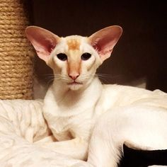 Flame point Siamese oriental shorthair cat