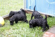 Vand pui Kerry Blue Terrier
