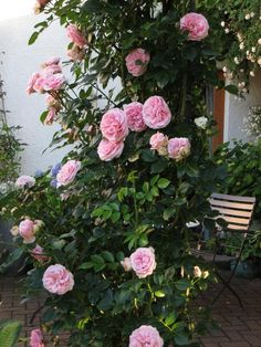 'Giardina', (Blüte: 8-10cm), 2-3m, gute-sehr gute Blattgesundh., 2008(Tantau)
