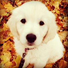 Our lovely golden retriever puppy, Molly W id playing with leafes.