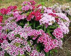 Gardening - Sweet William.....wonder if it will do well here in Texas