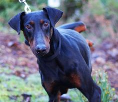 Jessie is a handsome black/tan Doberman Pinscher who is just 3-years-old and is filled with a zest for life. This happy boy does the Doberman spin dance when he meets anyone new. He's always got a smile on his face that's sure to put one on yours, too! With such long legs he's ready to take on any adventure you might have in mind. Jessie was ADOPTED! from Seattle Humane, April 2016