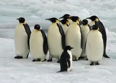 emperor penguins | The Lost Emperor: A Colony of Penguins Disappears by Wynne Parry ...