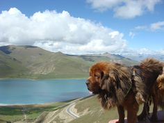 Tibetan mountain dog