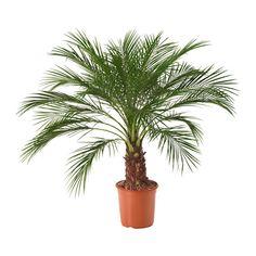 IKEA - PHOENIX ROEBELENII, Potplant, Decoreer je huis met planten in combinatie met een sierpot die bij je stijl past.