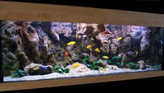 view 3 full verison photos of 180 gallons freshwater fish tank - photo - My new setup of Malawi cliff aquarium. - Fish Kept - Malawi cichlids - Corals/Plants - Anubias barteri - Filtration Eheim 2080 Eheim 2075 Aquacl. Aquarium Design, Aquarium Cichlidés, Biotope Aquarium, Cichlid Aquarium, Aquarium Ideas, Malawi Cichlids, African Cichlids, Aquascaping, Amazing Aquariums