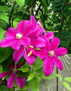 RARE Most Beautiful Unusual Clematis Clematis Sunset 5 Fresh Seeds | eBay