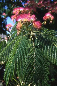 Albizia julibrissin flowers and leaves. I have these trees in front of my house Garden Seeds, Planting Seeds, Home Garden Plants, Indoor Garden, Silk Tree, Tree Images, Tree Seeds, Mimosas, Plantation