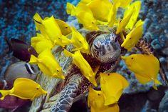 Peces cirujanos (los hay de un montón de colores) rodean con su colorido amarillo a una tortuga verde.