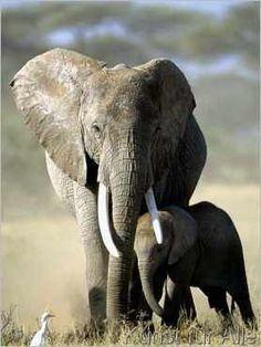 Michel Denis Huot - Afrikanische Elefanten