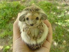 Positive emotion of the day. Little big-eared hedgehog