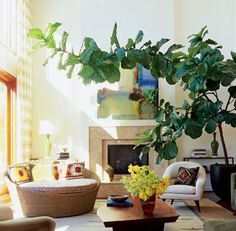 fiddle fig tree! I want so many plants in the house!