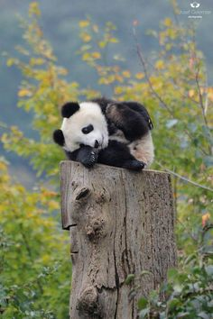 "Panda: ""This seemed as good as place as any ~ to have a small rest ~ I'm a little beat!"" (Giant Panda Cub Photo By: Josef Gelernter. Nature Animals, Animals And Pets, Animals Planet, Sweet Pictures, Beautiful Creatures, Animals Beautiful, Cute Baby Animals, Funny Animals, Cute Panda Baby"