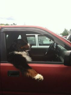 If only Hugo would do this...Bernese Mountain Dog