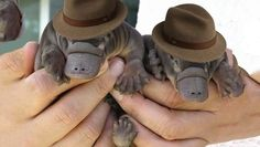 They are Perry!  Perry the Platypus!
