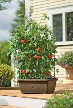 Best of Home and Garden: Tomato Planter - Organic Tomato Success Kit Growing Tomatoes Indoors, Growing Tomatoes From Seed, Growing Tomatoes In Containers, Grow Tomatoes, Cherry Tomatoes, Tomato Planter, Tomato Garden, Vegetable Garden, Tomato Cage
