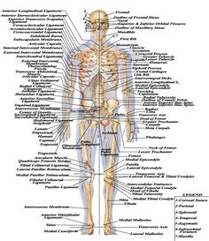 Skeletal anatomy front and back miscellaneous pinterest washhouseanatomy the wonders of the human body ccuart Images