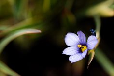 "16 Likes, 1 Comments - Sara Hazeldine (@sara180372) on Instagram: ""#sisyrinchium #flower #flowerstagram #flowersandmacros #macro #fuji #fujixt20 #fujixseries…"""