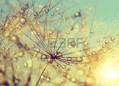 Dewy L wenzahn Blume bei Sonnenuntergang close up Lizenzfreie Bilder